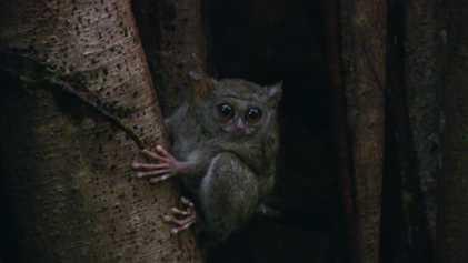 Este pequeño primate tiene los ojos más grandes de todos los mamíferos | Los más raros ...