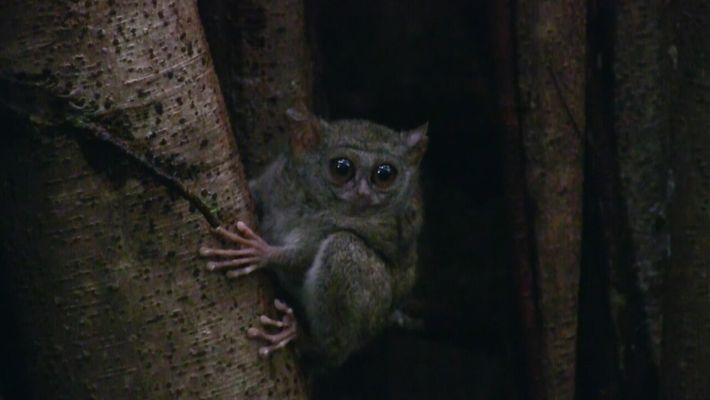 Este pequeño primate tiene los ojos más grandes de todos los mamíferos   Los más raros ...