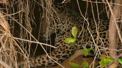 El elusivo jaguar, rey del río | Los animales más raros de Sudamérica