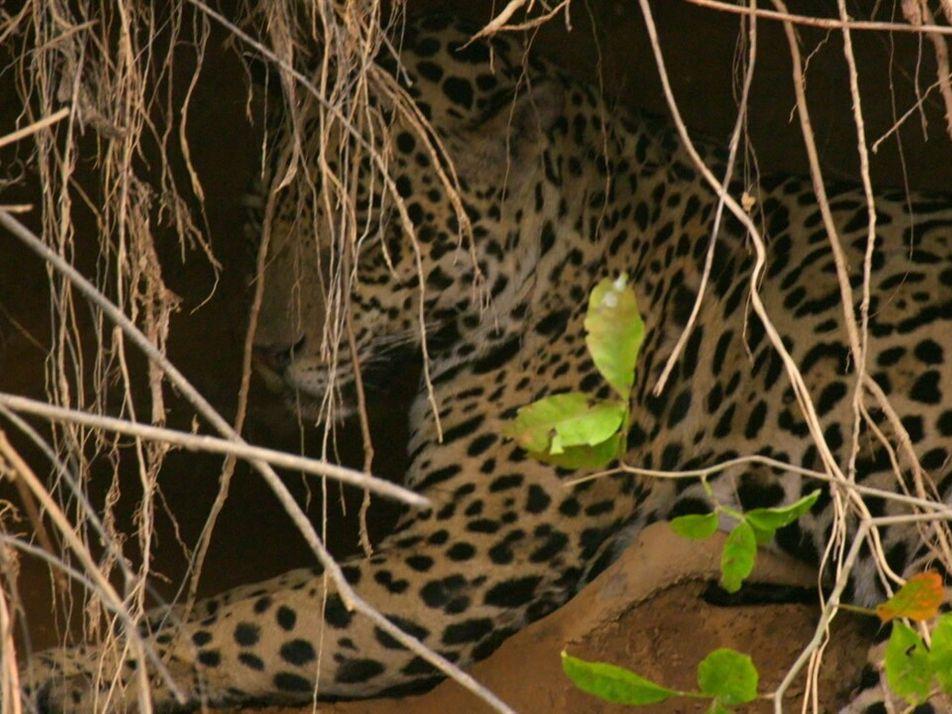 El elusivo jaguar, rey del río   Los animales más raros de Sudamérica