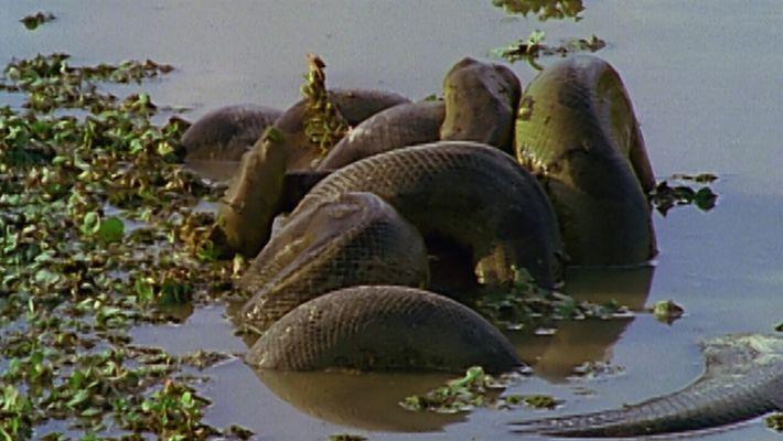 Anacondas verdes batallan para aparearse con la hembra | Los animales más raros de Sudamérica
