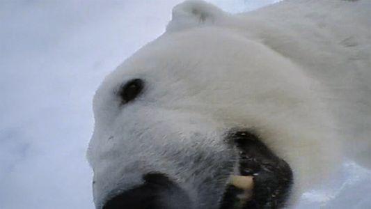 ¿Cómo almacenan los osos polares la carne para comerla más tarde?