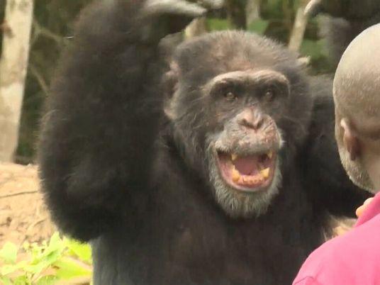 Este chimpancé es el único superviviente de su colonia