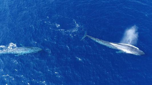 """Mira ahora: ballenas azules """"coqueteando"""" captadas en cámara"""