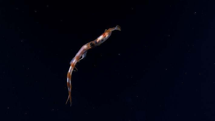 Este calamar usa sus largos brazos para capturar a sus presas