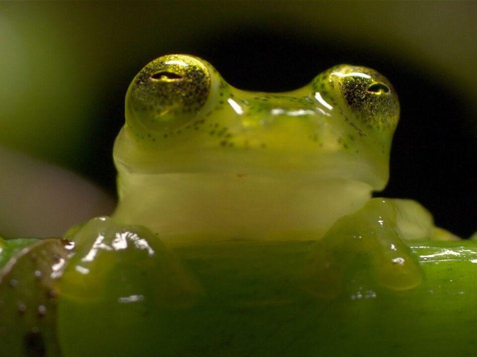 """Rana Ninja"": Descubre porqué este anfibio recibe ese sobrenombre"