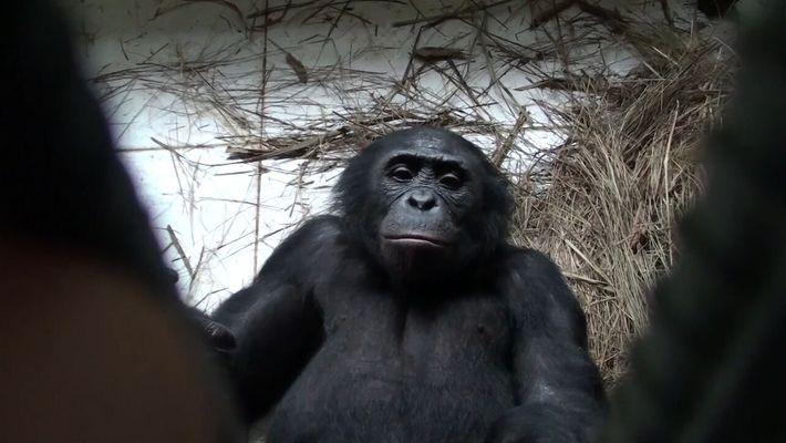 Los simios bonobo expresan empatía y ayudan voluntariamente a extraños