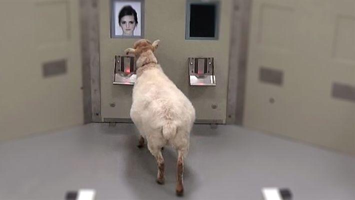 Mira ahora: Las ovejas pueden reconocer rostros humanos