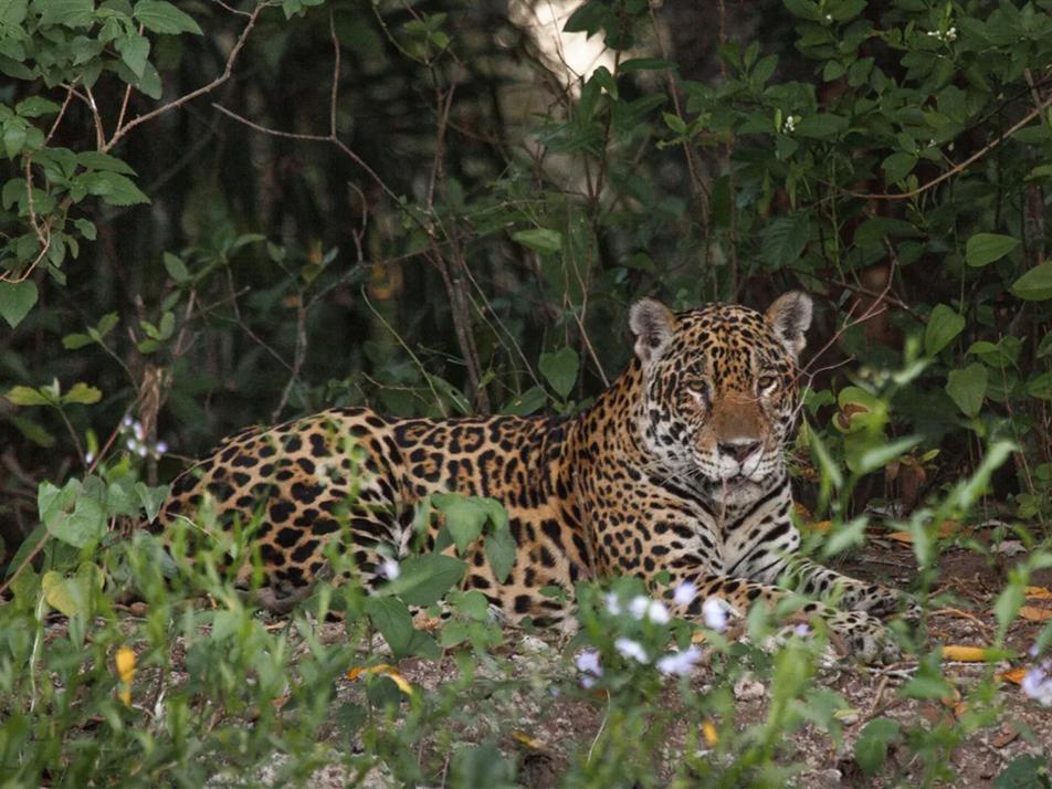 Paso a paso: Investigadores recolectan semen de un jaguar en naturaleza