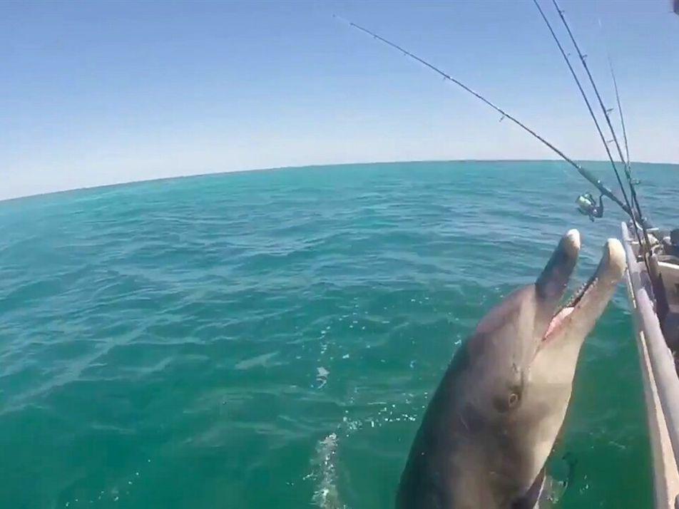 Delfines salvajes saludan a humanos: ¿es esto normal?