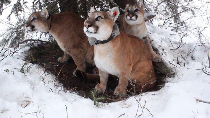 Estas madres de león de montaña cuidan a sus gatitos