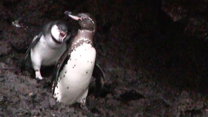 Pingüinos pedigüeños: las crías siguen pidiéndoles comida a sus padres