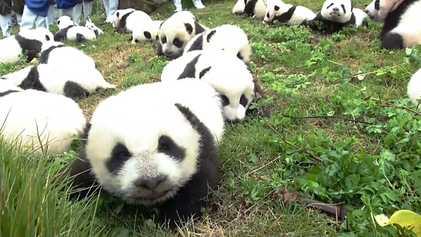 Récord: 42 pandas nacidos en un programa de reproducción