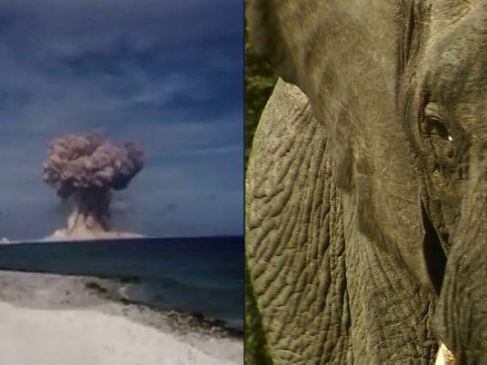 Cómo las bombas nucleares pueden ayudar a combatir a los cazadores furtivos de elefantes
