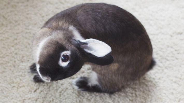 Los conejos con la cabeza inclinada podrían ser tratados