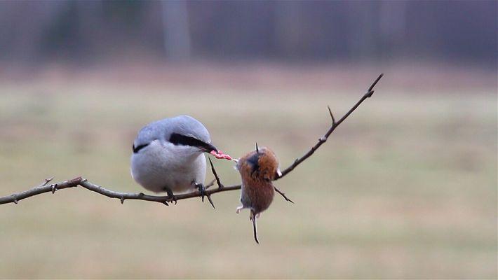 ¿Son estas las aves más furiosas de la naturaleza?