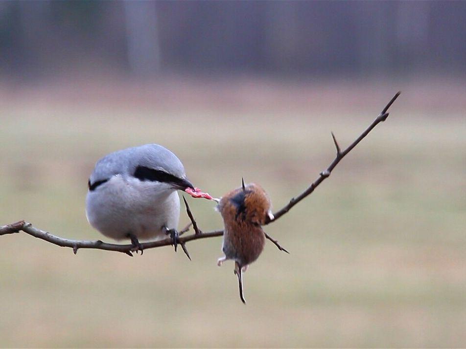 Imágenes fuertes: ¿Son estas las aves más furiosas de la naturaleza?