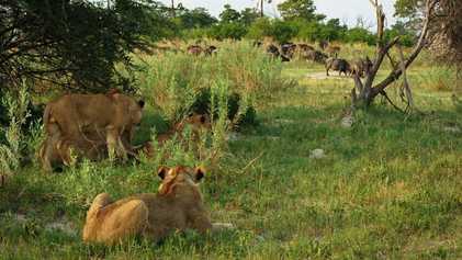 Leones escapan de la manada para cazar su propia comida | Imperio Salvaje