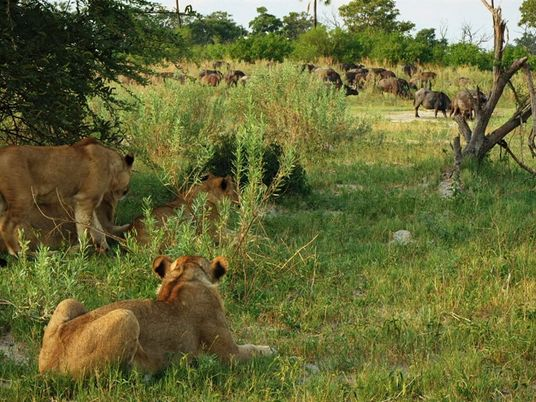 Leones escapan de la manada para cazar su propia comida   Imperio Salvaje