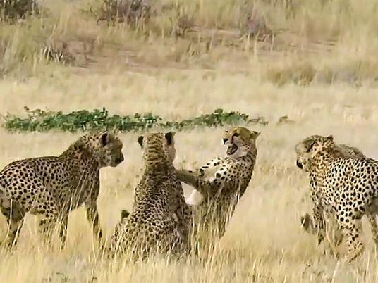 Un guepardo hembra pelea contra cuatro machos en un cortejo brutal
