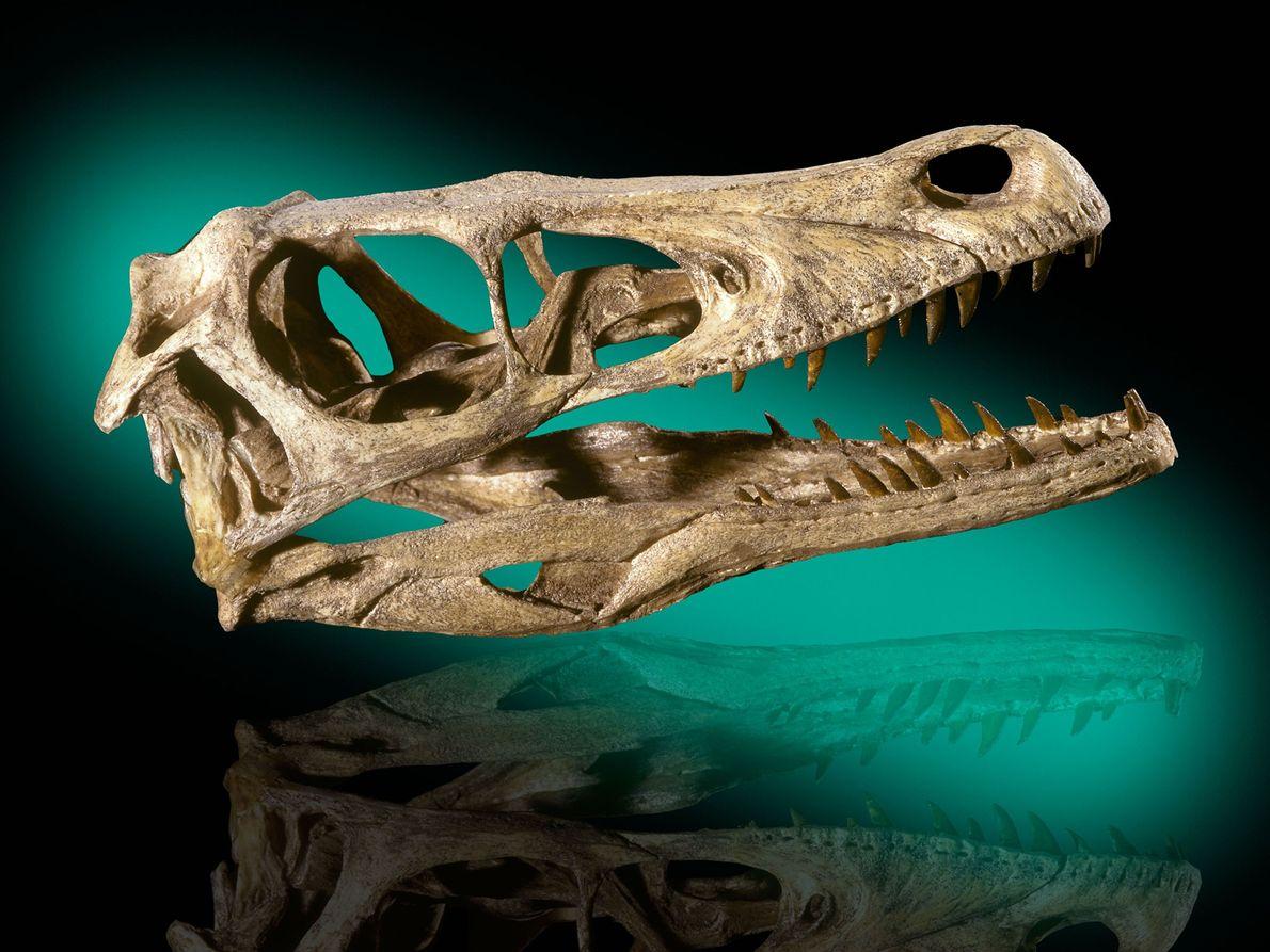 """Este cráneo de dinosaurio """"Velociraptor mongoliensis"""" proviene de las primeras formaciones Cretácicas en el desierto de ..."""