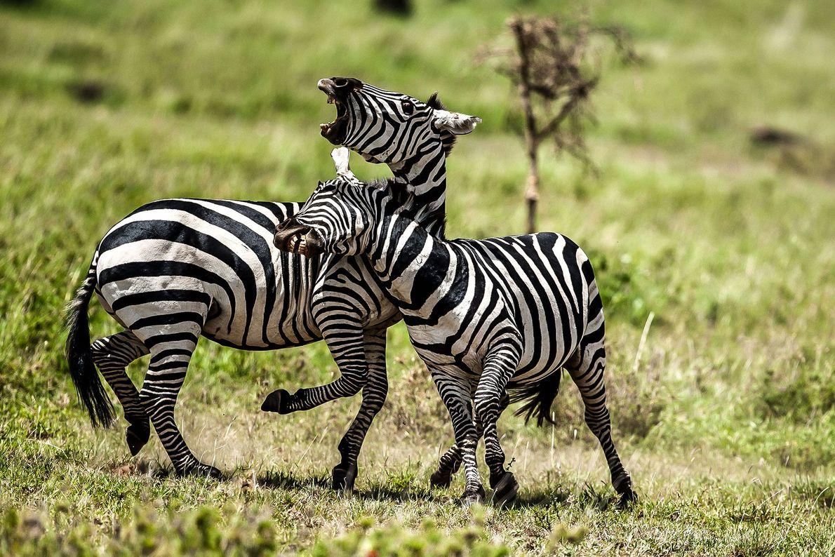 Cebras se baten en duelo en Tanzania.