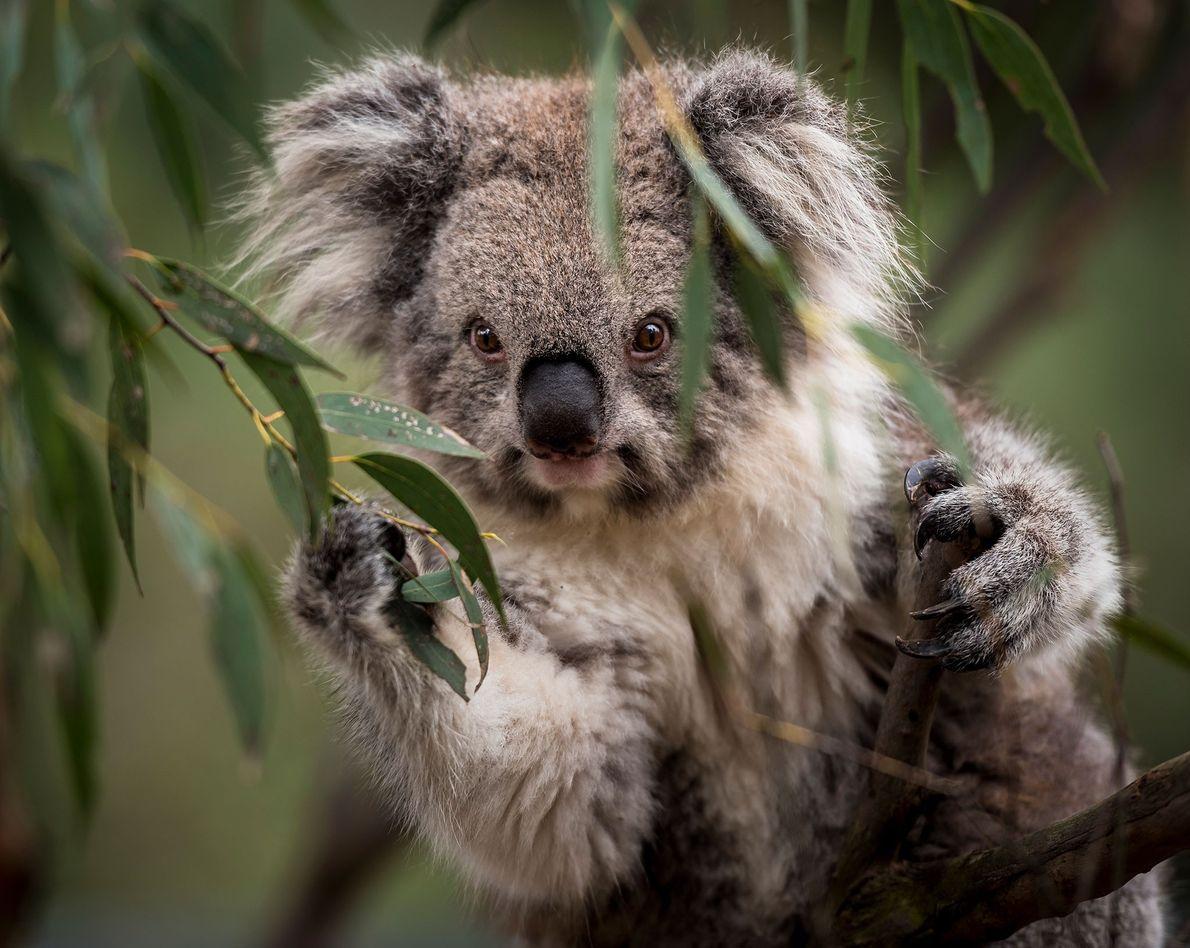 """Retrato de un koala victoriano (""""Phascolarctos cinereus"""") en Australia."""