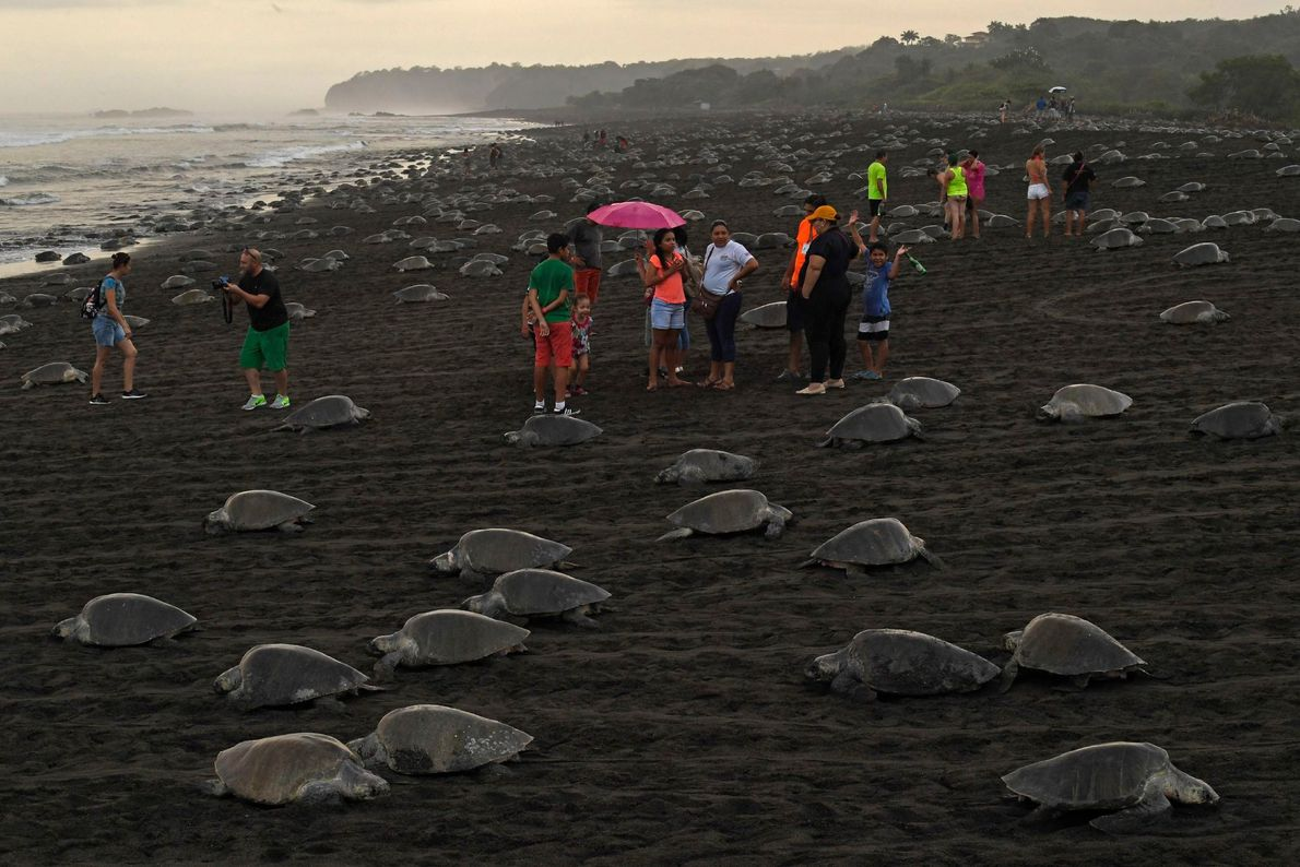 Los turistas visitan la playa del Ostional cuando las tortugas salen del agua para poner huevos. ...