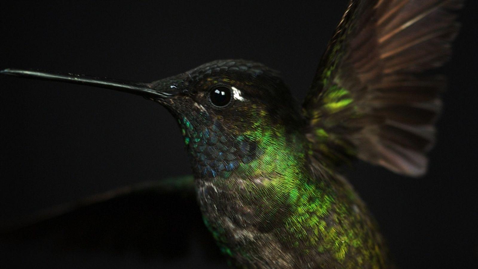 Mira el vuelo de un colibrí magnífico en detalle