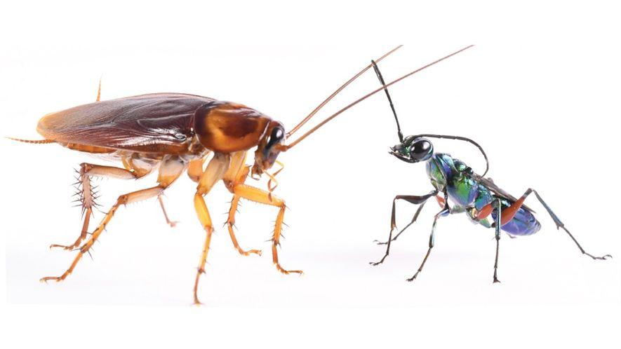 """Las cucarachas dan patadas karatecas para evitar que las conviertan en """"zombis"""""""
