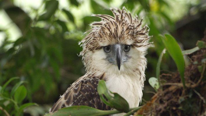 Raro video de un pichón de águila en peligro de extinción