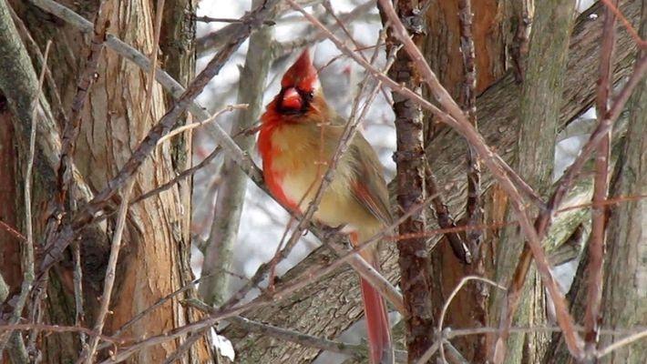 Video exclusivo muestra a un cardenal mitad macho, mitad hembra