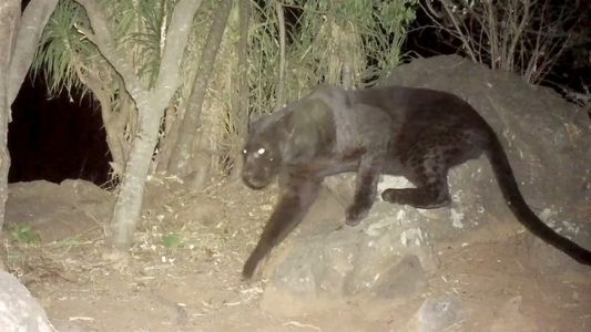 Cámaras remotas confirman la presencia de raros leopardos negros en Kenia