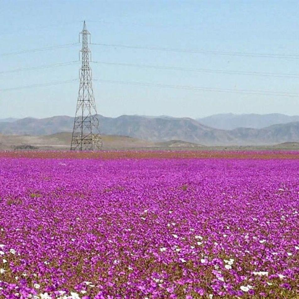 Desierto de Atacama: Uno de los lugares más secos de la Tierra se inunda de flores