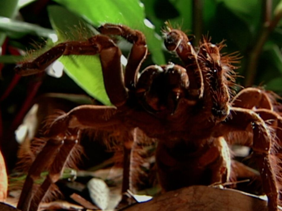 La araña más grande del mundo devora un ratón