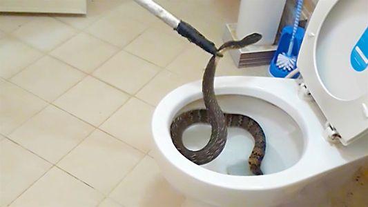 Esta serpiente escondida en un inodoro es una pesadilla hecha realidad