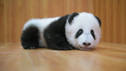 Criar pandas tiernos: es complicado