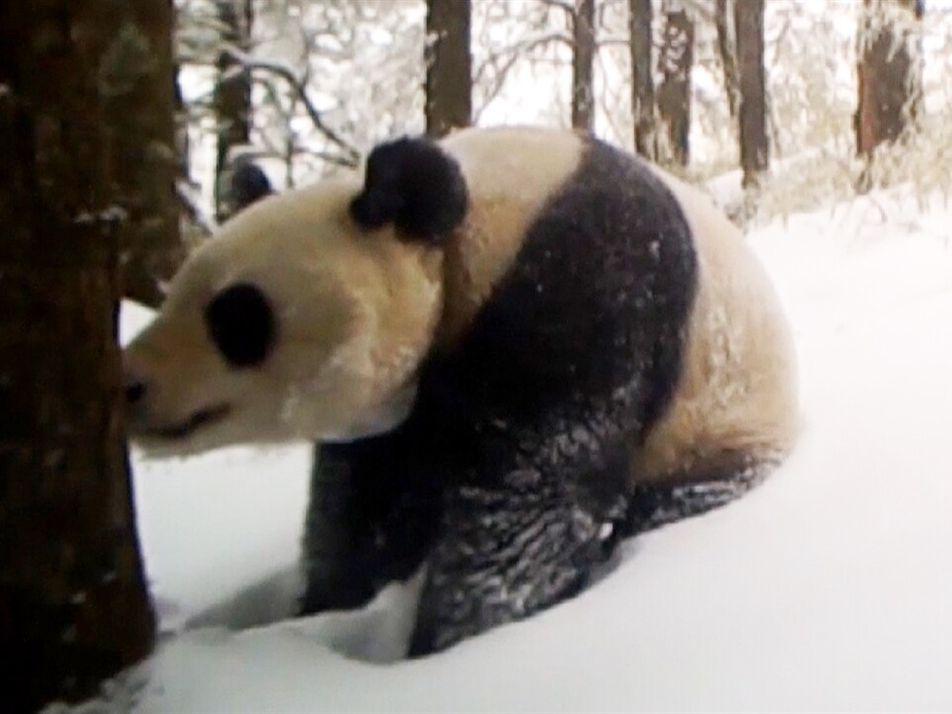 Esta panda nacida en cautiverio alcanzó un logro revolucionario