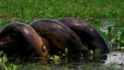 Esta anaconda devora una presa enorme