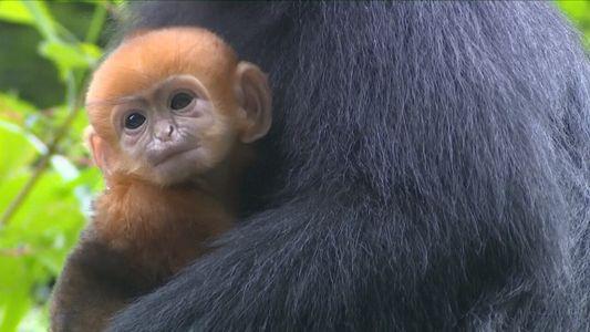 Bebés de esta especie en peligro de extinción nacen en una reserva de China