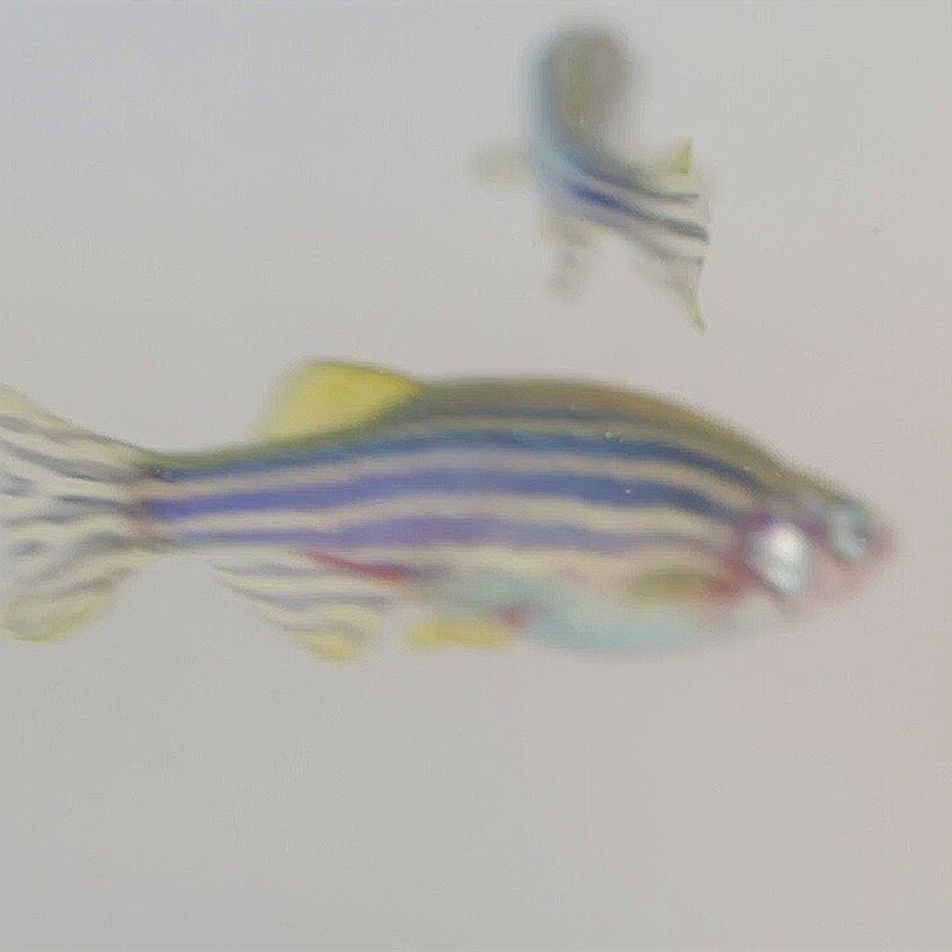 Estos peces cebra pueden ayudar a comprender la adicción a los opioides