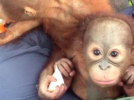 Conoce la escuela de bebés orangutanes