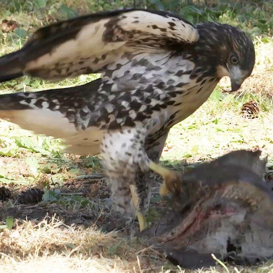 Halcón criado por águilas comienza a actuar como uno