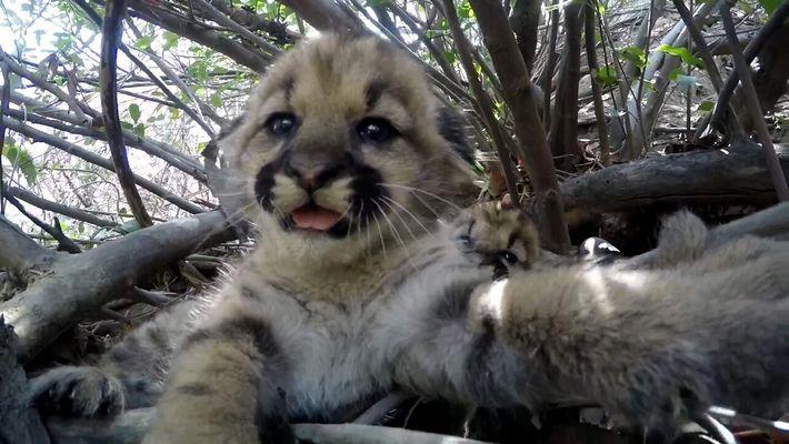 Mira a estos lindos cachorros de puma