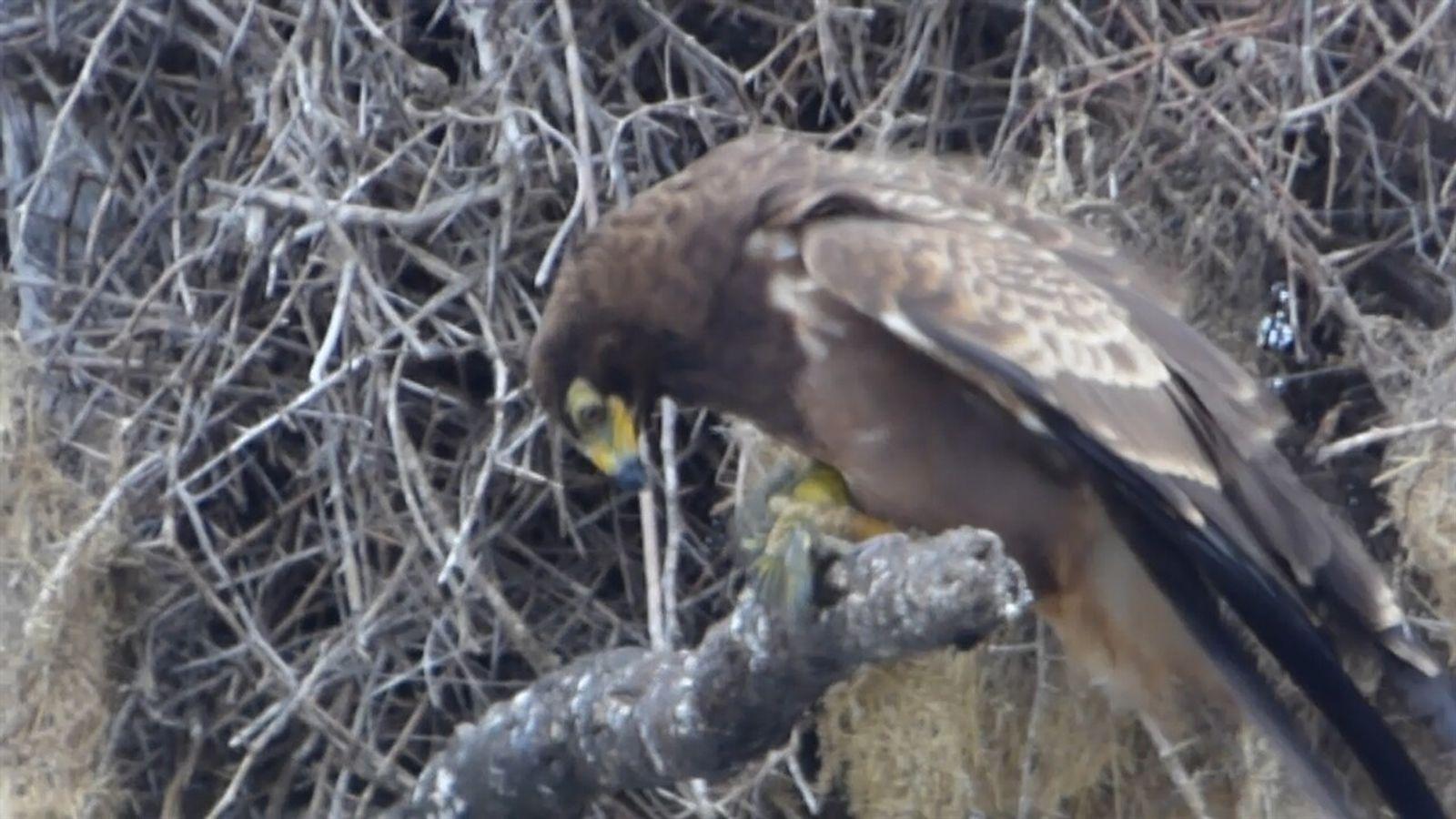 Impactante video muestra a un aguilucho decapitando a su presa
