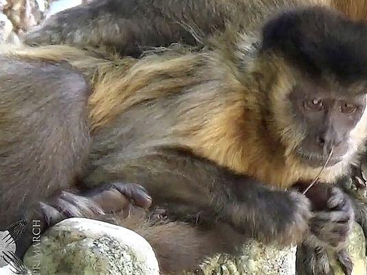 Esta mona capuchina usa palos como sonda nasal