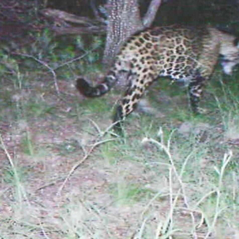 Raro video del único jaguar salvaje conocido en los EE. UU.