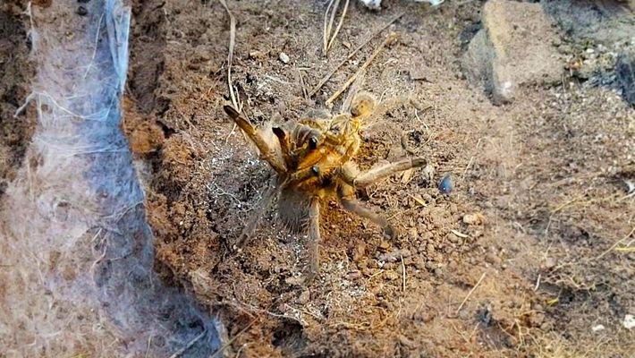 Mira cómo una tarántula macho se arriesga a morir por sexo