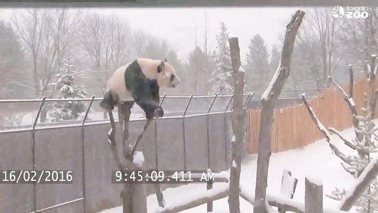 Tierno video de un panda jugando en la nieve