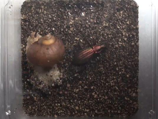 Estos caracoles golpean a los depredadores con su caparazón
